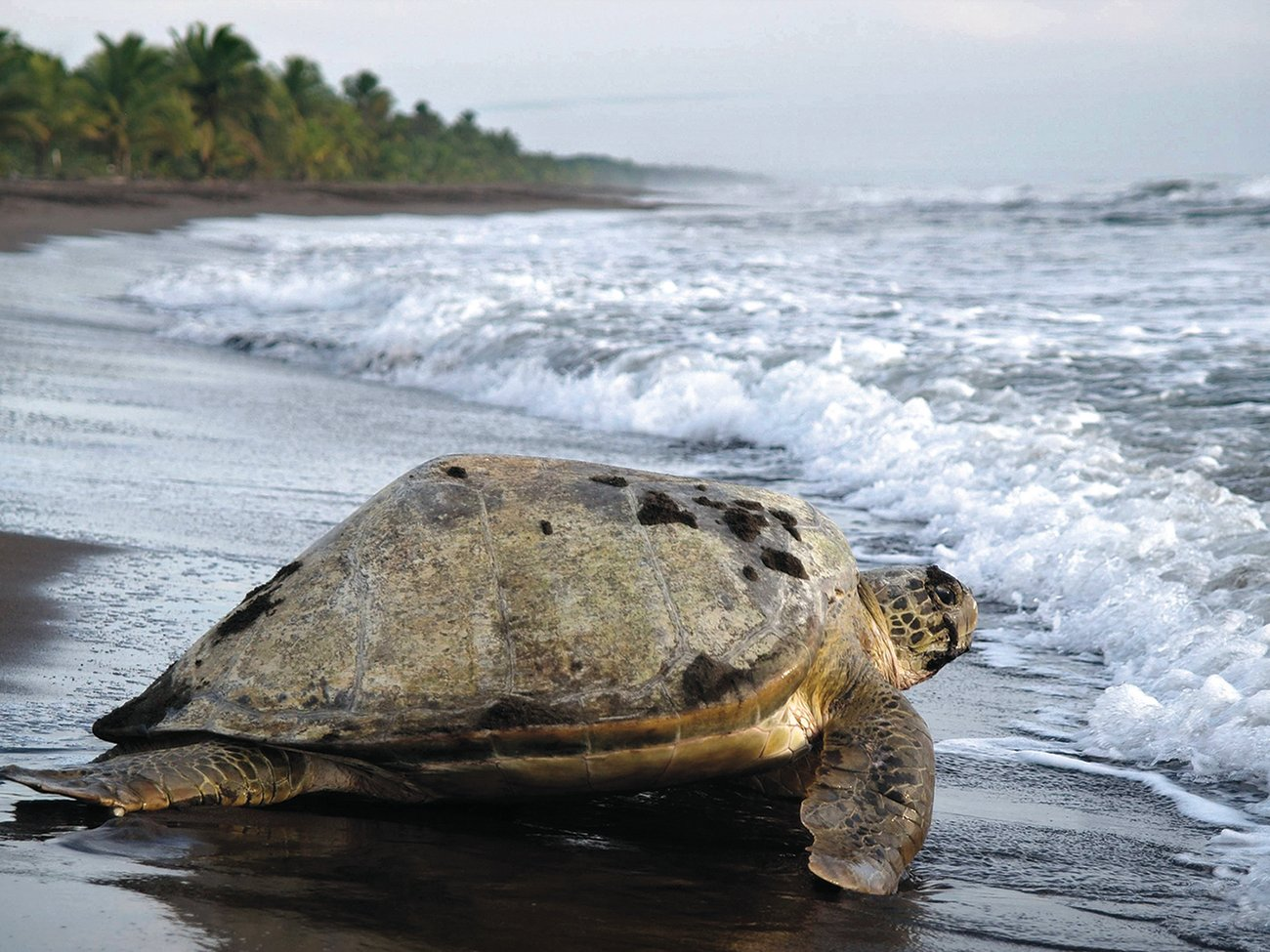Tortuguero Turtle Watching in Costa Rica