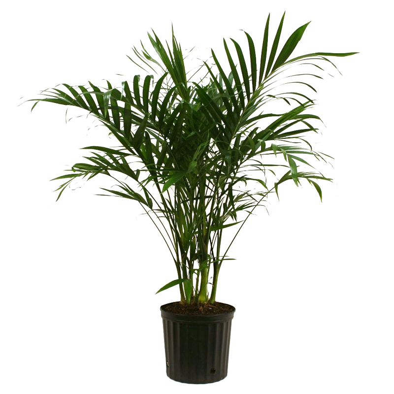 Potted Palm Plant
