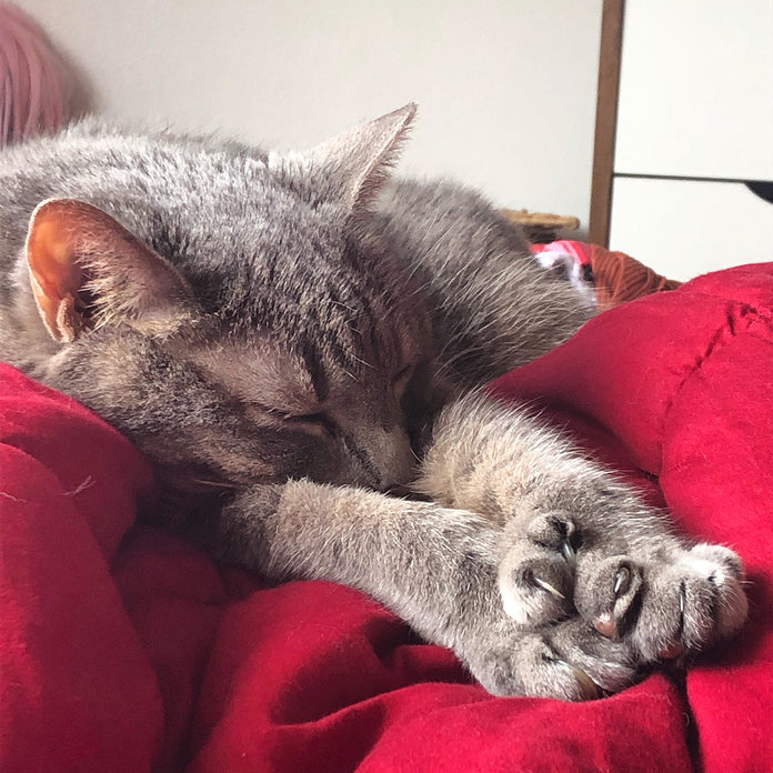 A sleeping gray cat stretches on a red blanket.