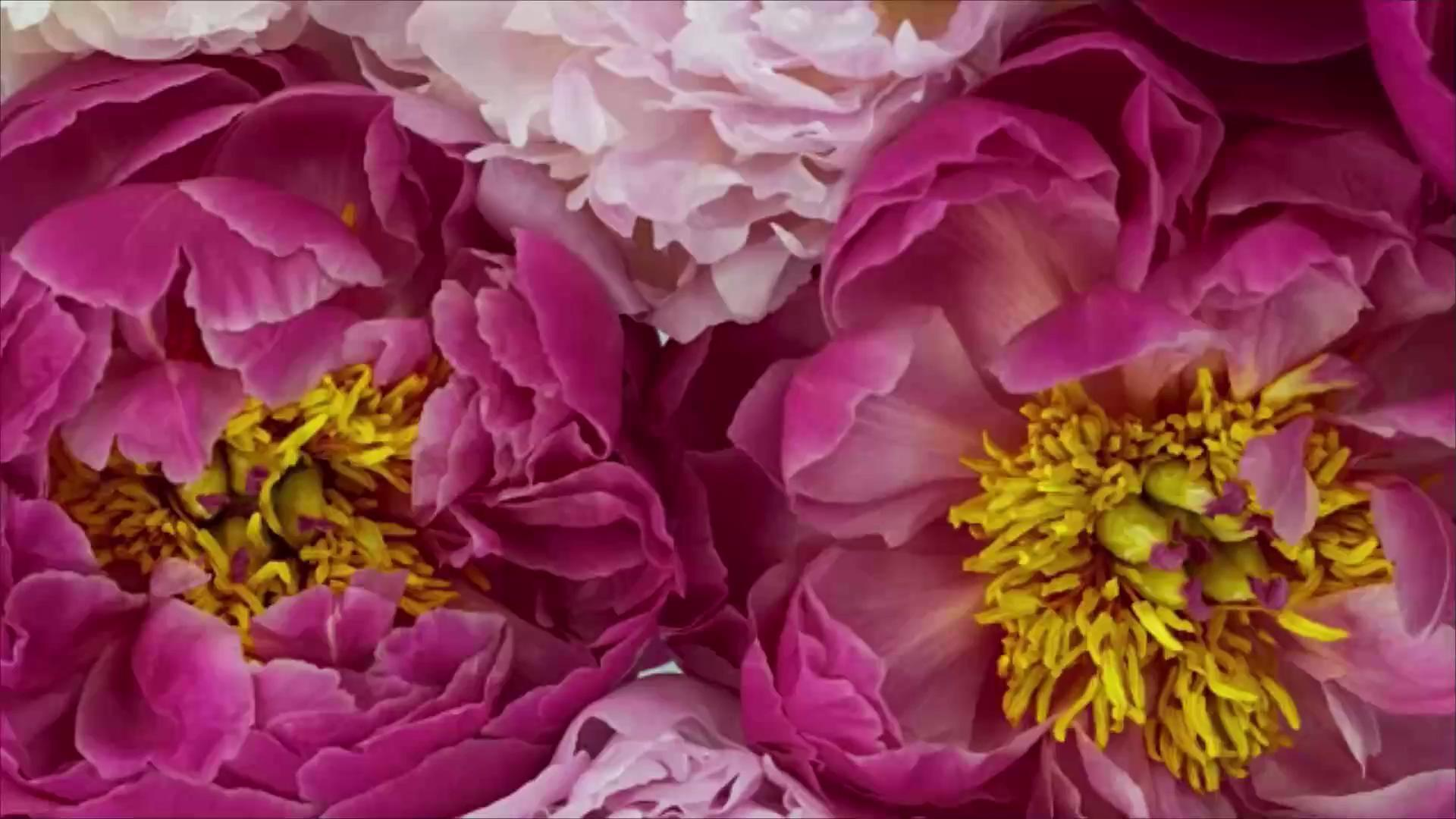 12 Surprising Facts All Peony Enthusiasts Should Know