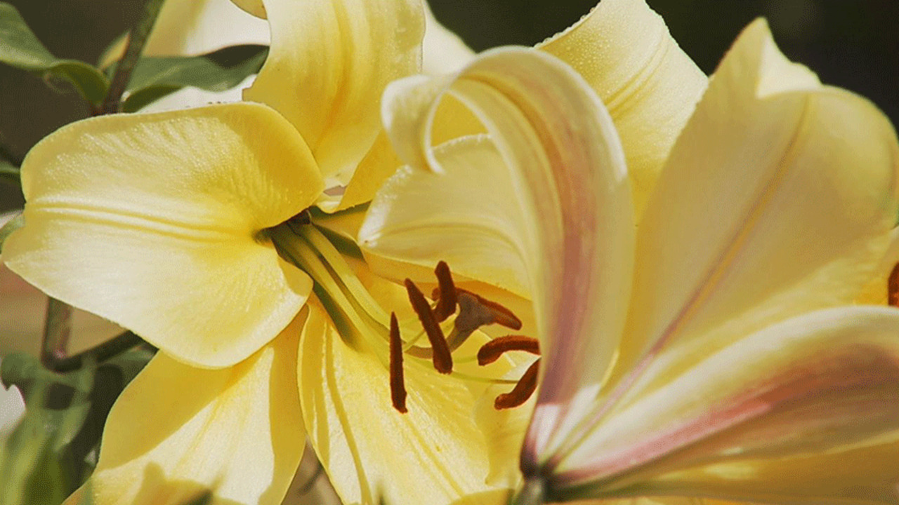 Video: Growing Daylilies