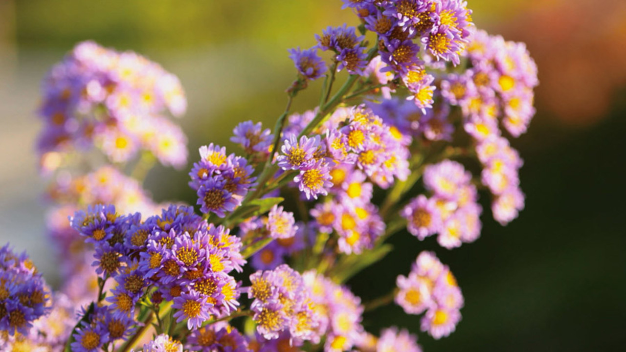 Amazing Asters