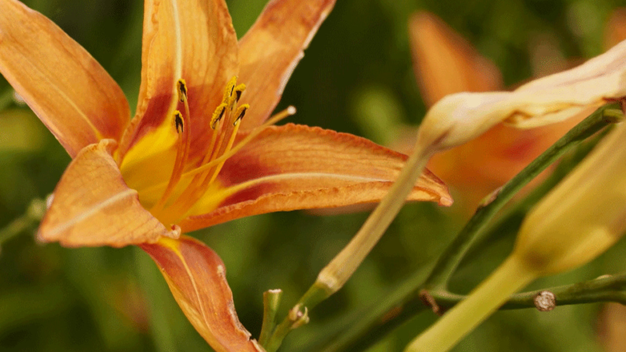 Video: Divide Daylilies