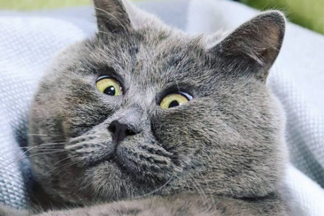 Fedya the Cat's Permanently Startled Expression is All of Us Checking the News Each Morning