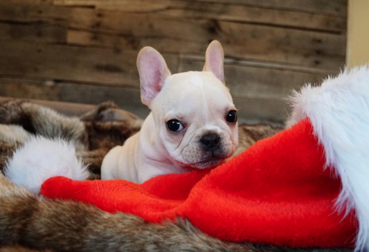 These puppies dressed up like Santa for a Christmas photoshoot and our hearts are bursting