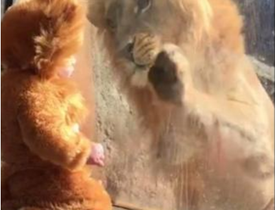 Watch a real lion meet a baby dressed in a lion costume, and feel