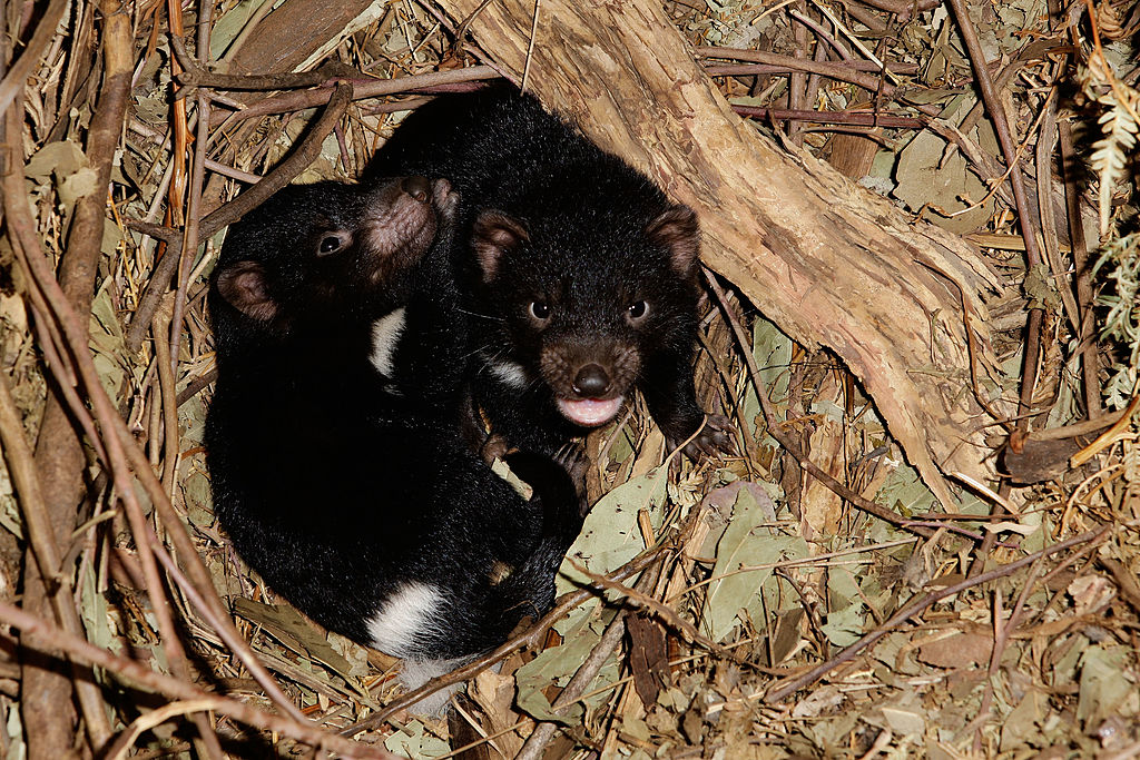 Baby Tasmanian devils playing in a winter wonderland is the cutest ...
