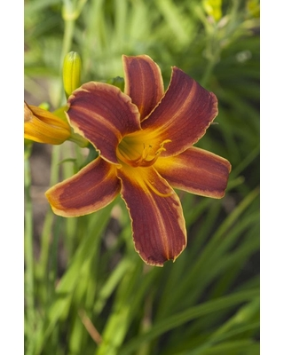 Gardens Alive! 1 Pack in Bareroot Everydaylily Ribs Daylily 73714 - gardens alive!