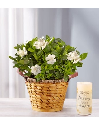 Gardenia For Sympathy Medium with LED Candle - 1-800-flowers