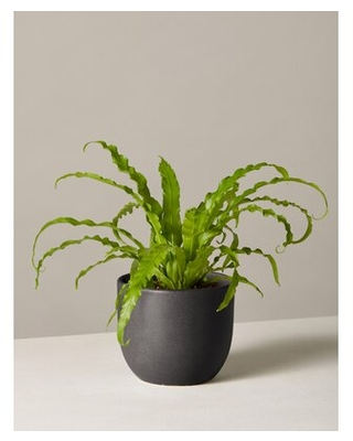 Fern Plant in Pot - the sill