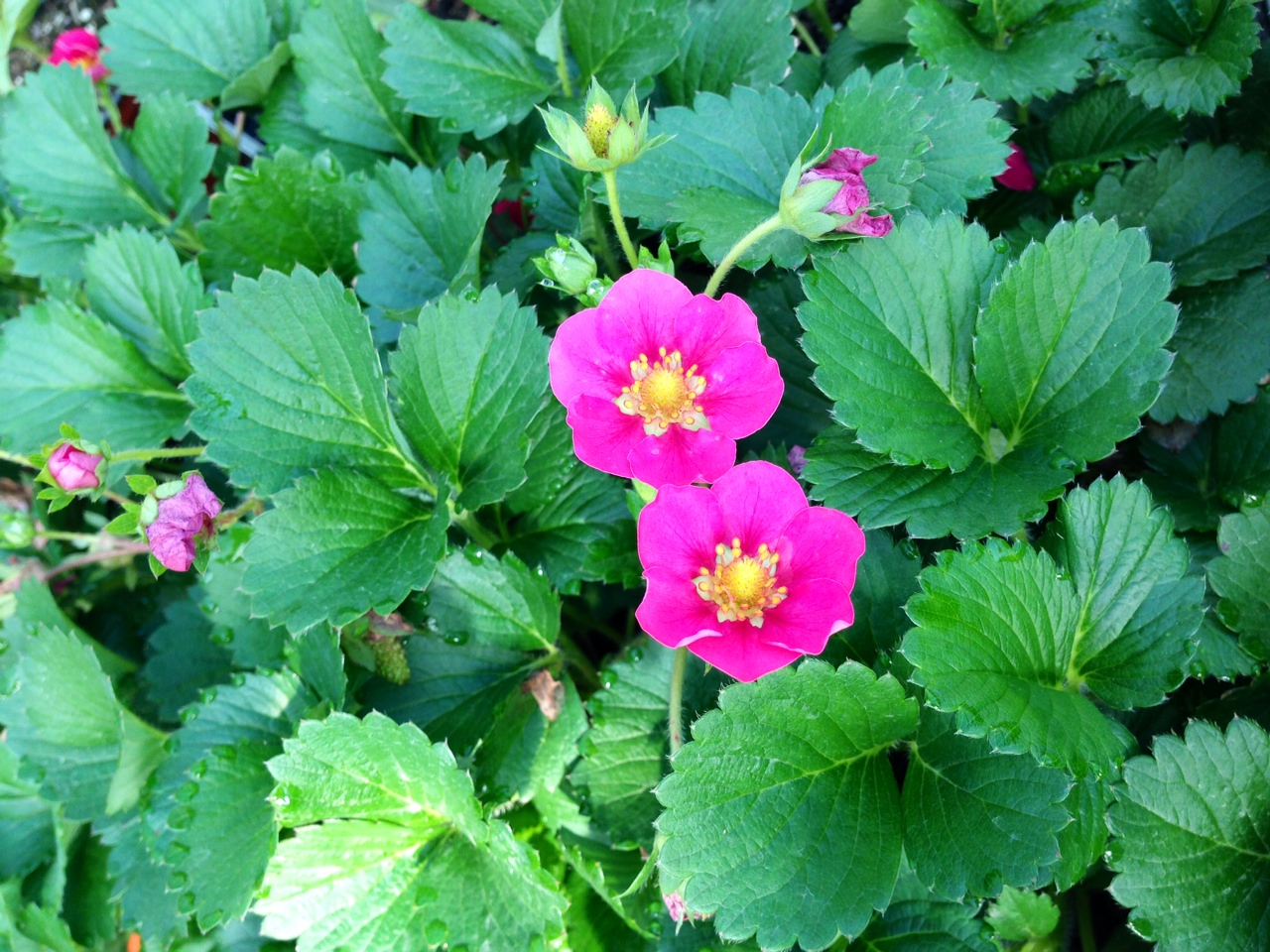 'Tristan,' a pink-blooming strawberry variety, is a colorful, edible groundcover.