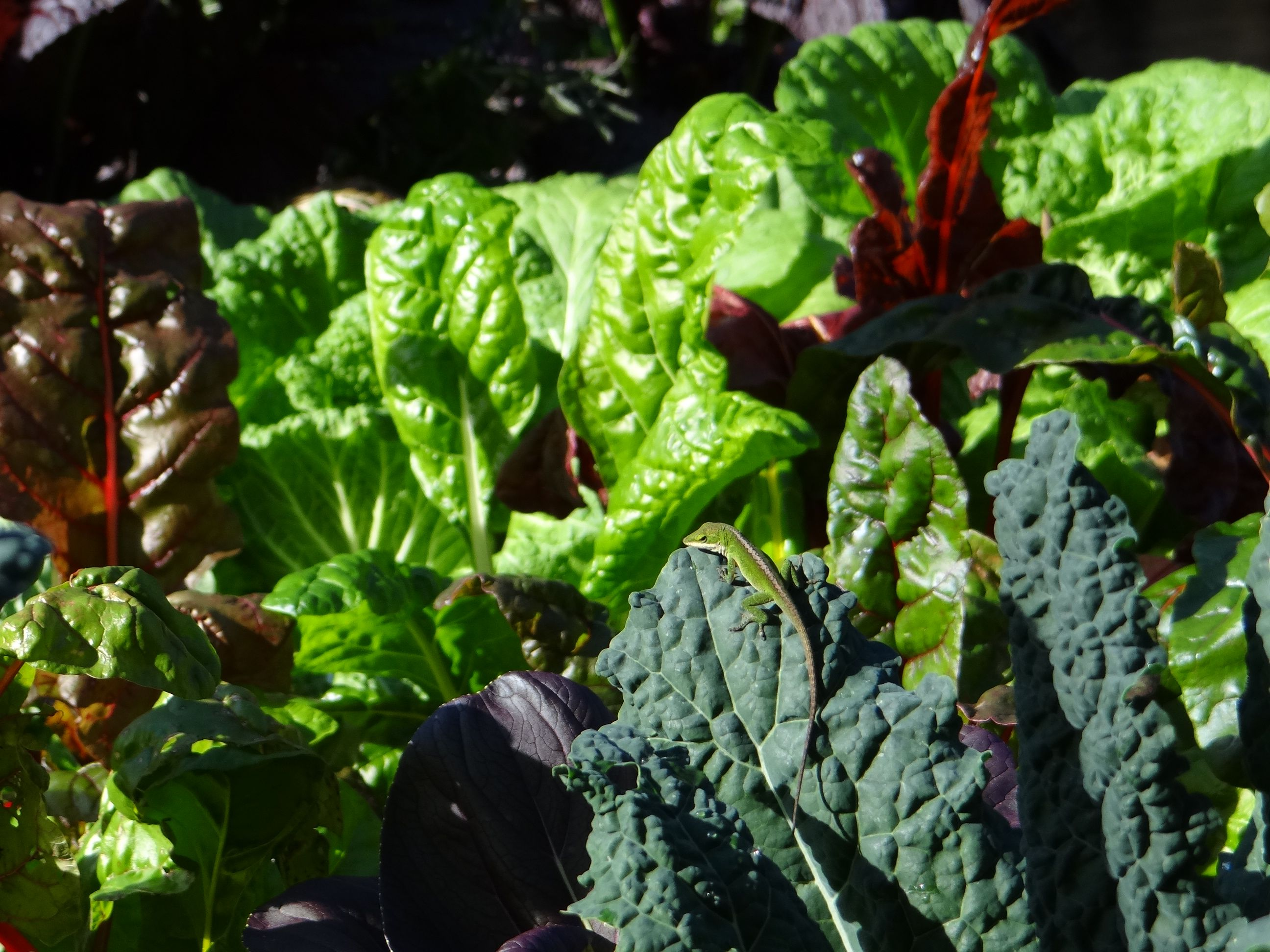 Sunning on Lacinato kale on a warmer day in the Cooking Light garden.