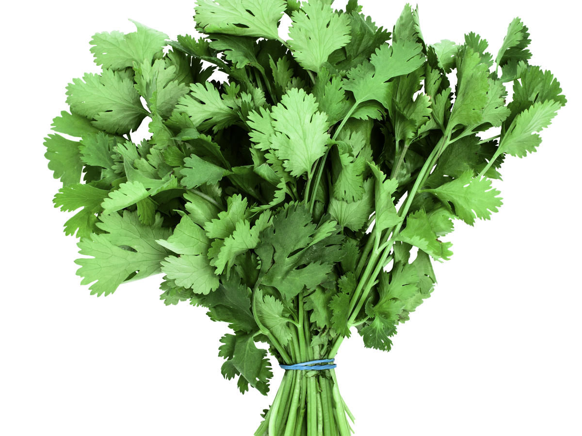 Bunch of fresh coriander, on white background, cut out