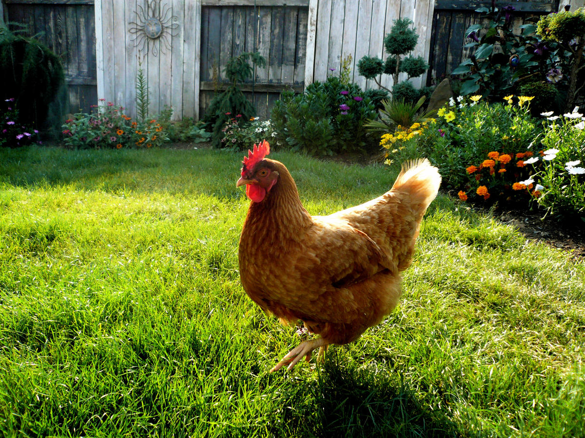 1704W Chicken in Garden.jpg
