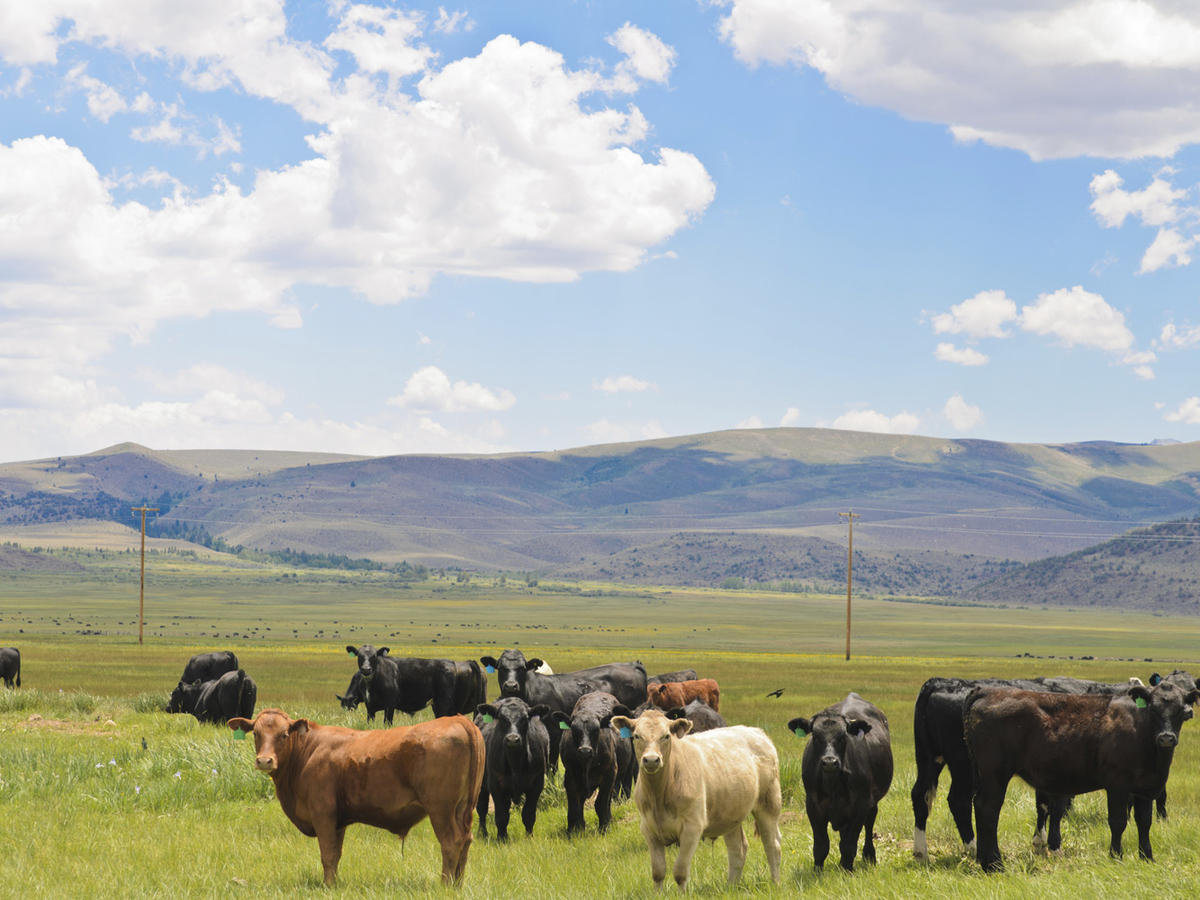 1605w-getty-cows-pasture-grass-fed-beef.jpg