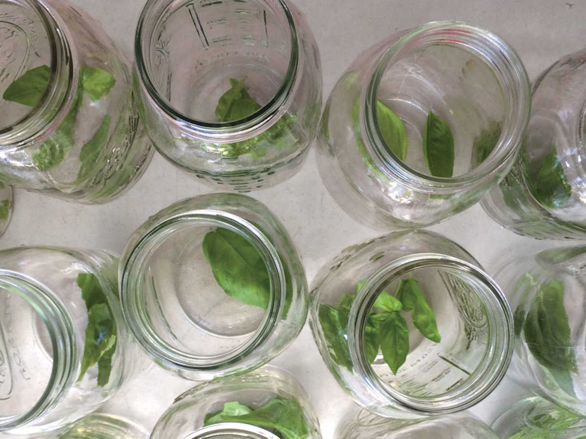 Fresh Basil in Jars