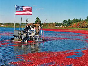 oh3959p267-harvesting-cranberries-m.jpg