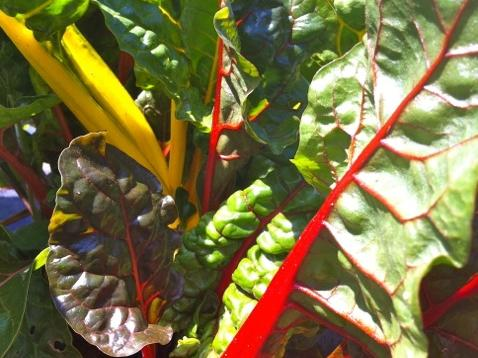 swiss-chard-waking-up-cl.jpeg
