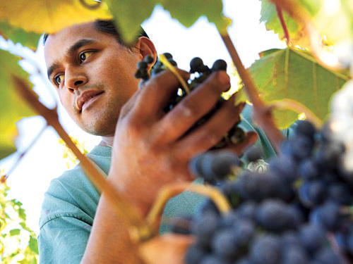 Lynmar Estate Grape Harvesting in Sonoma Valley