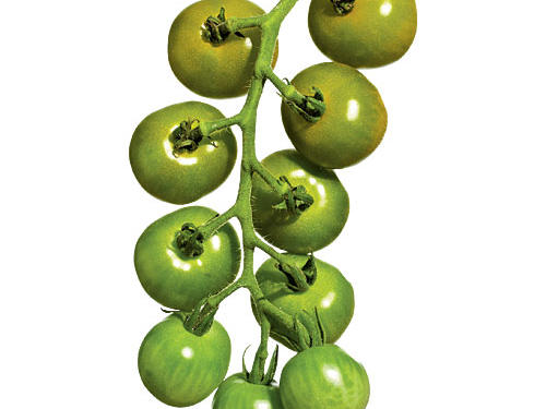 Green Doctors Tomatoes