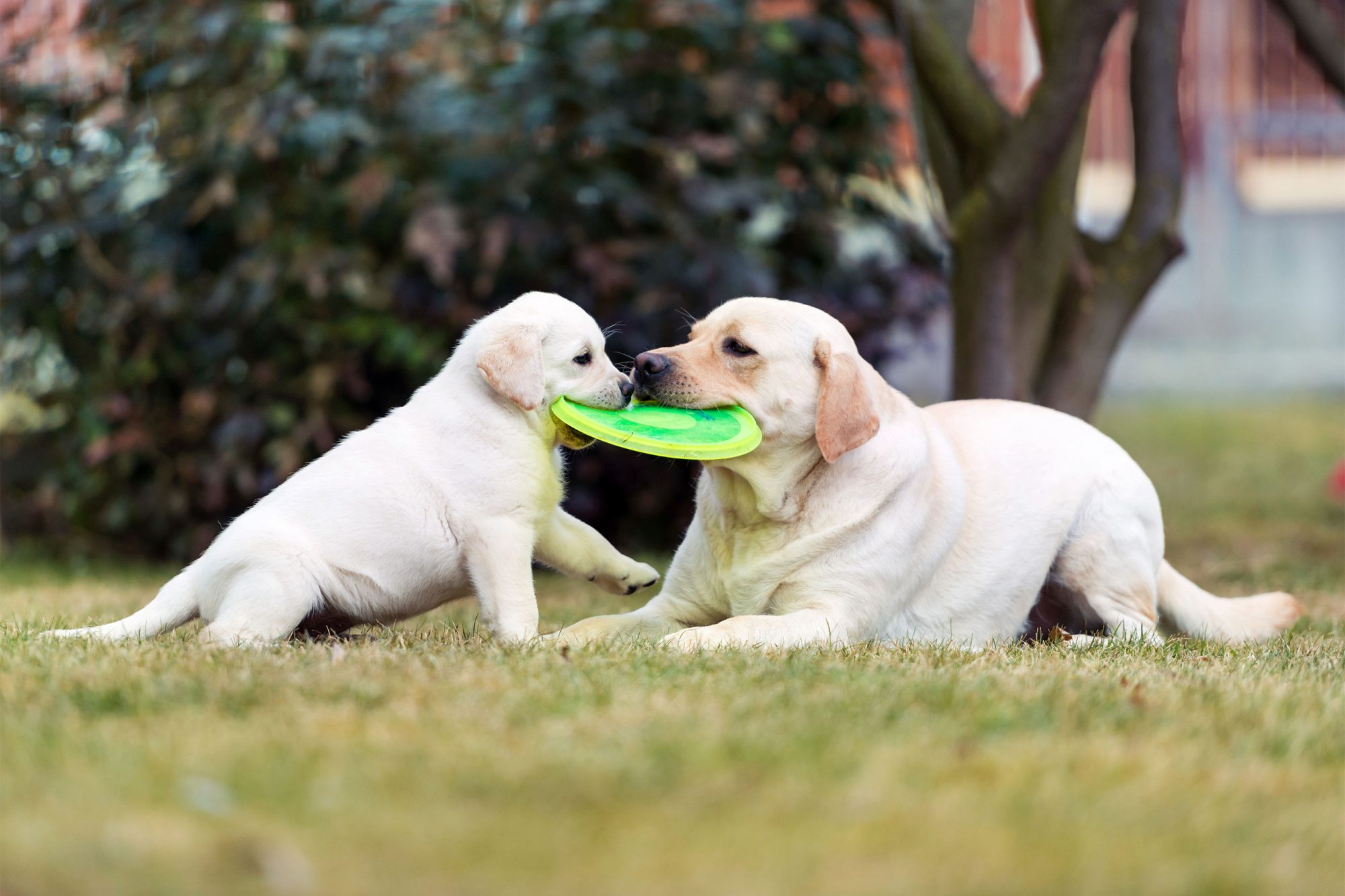 Labrador retriever puppy playing with her mother