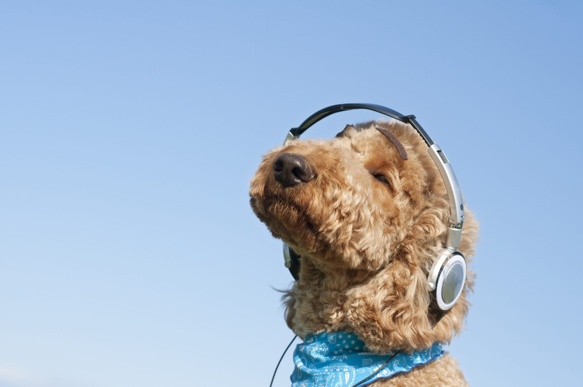 Dog listening to music with headphone