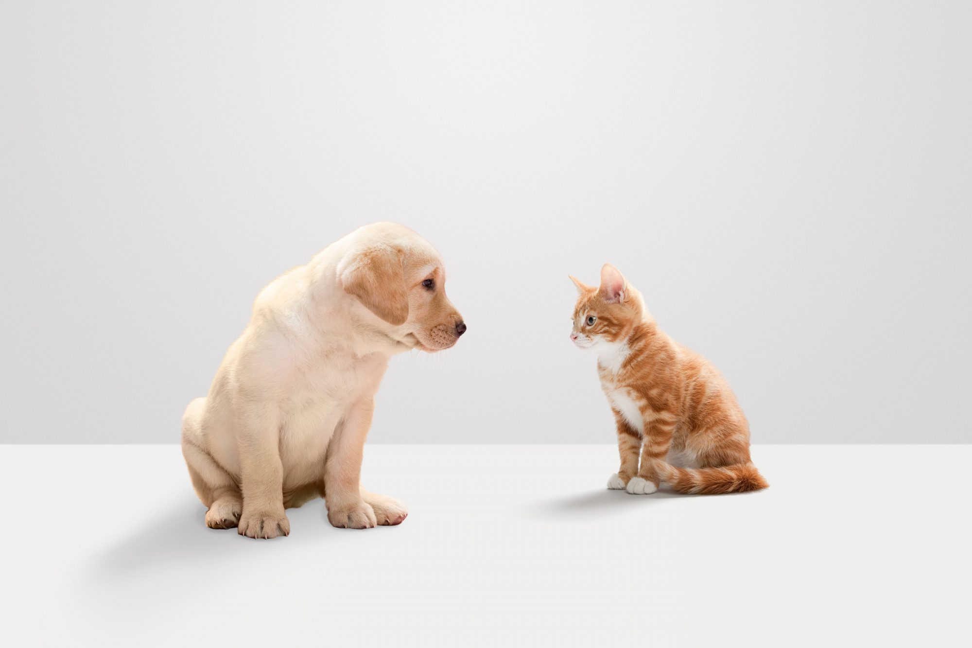 Labrador Puppy and Kitten