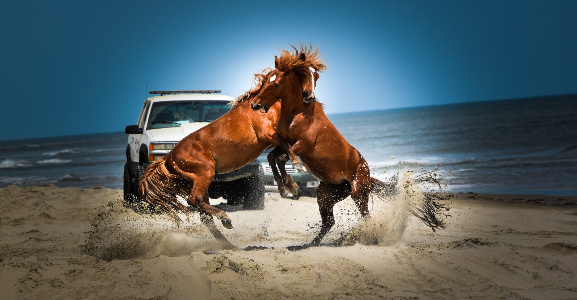 Wild Horse Fight Outer Banks