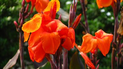 Canna Southern Living