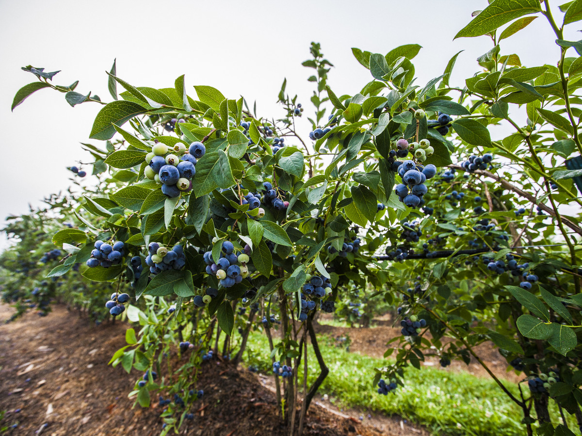 Southern Blueberry Varieties