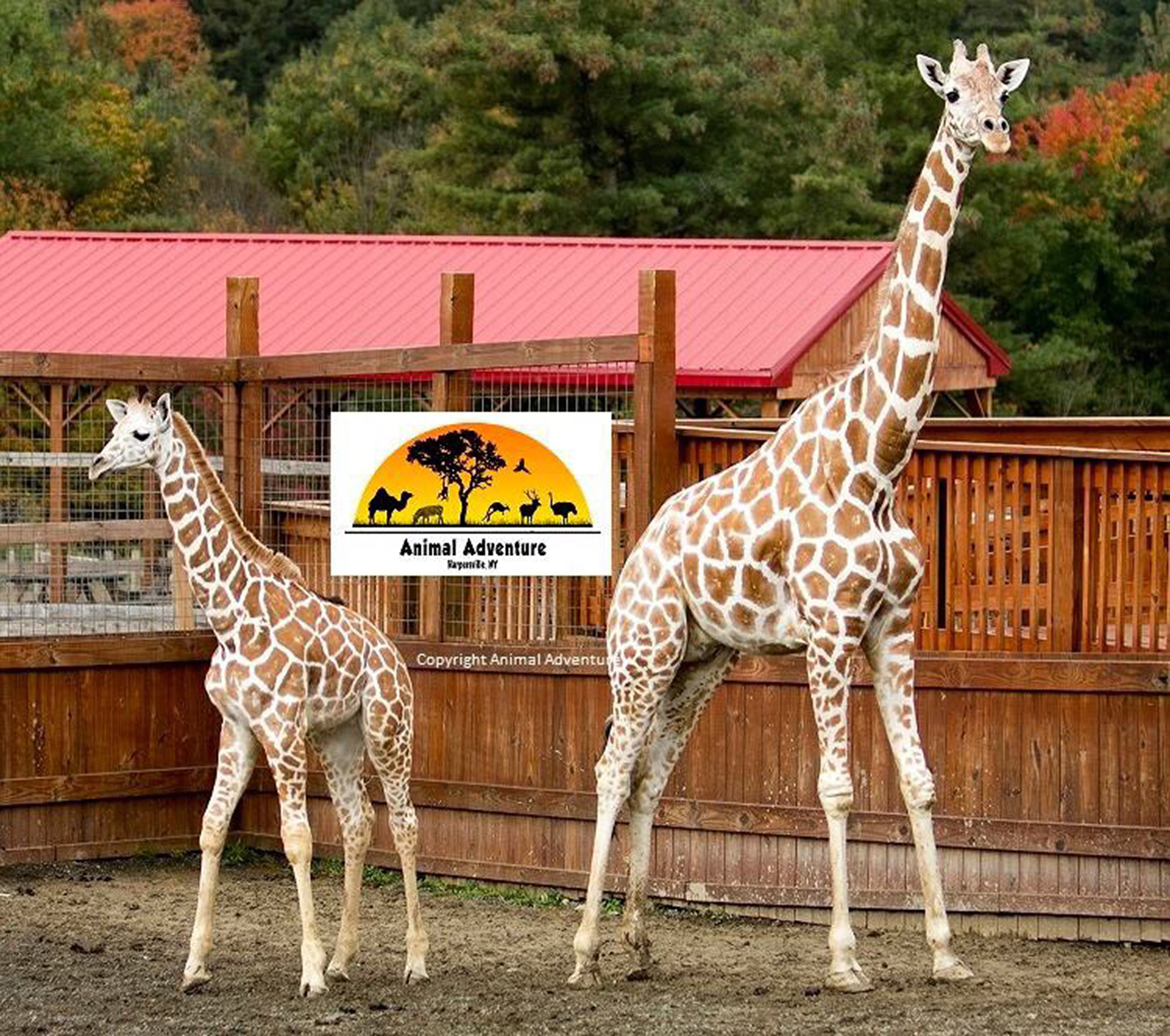 April the Giraffe Gives Birth to Her New Calf After Another Exciting Baby Watch april-the-giraffe