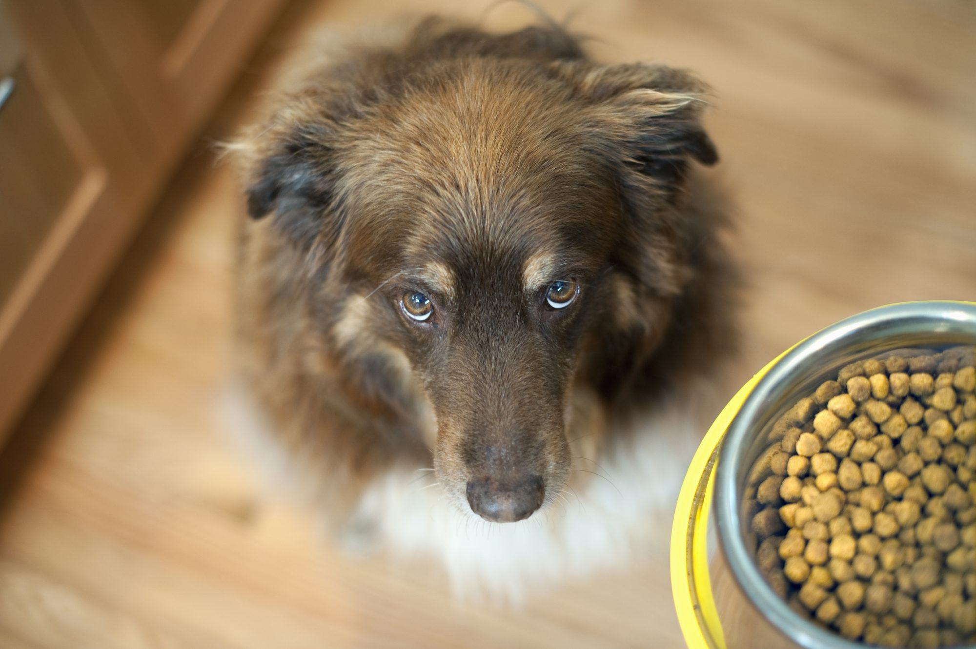 overhead view of dog looking up at bowl of food