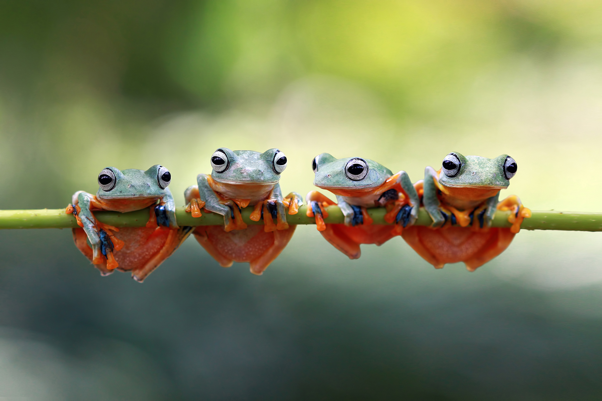 Four Javan tree frogs sitting on a plant, Indonesia