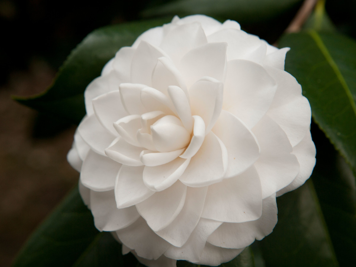 Camellia Southern Living Southern Living