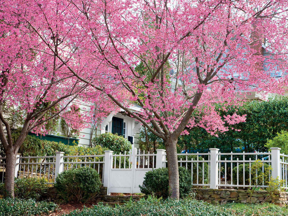 Pictures Of Cherry Blossom Trees