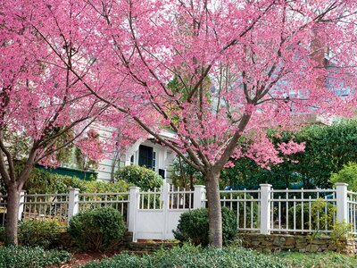 27cff935d2450 Cherry Blossom Trees - 14 Things to Know about Cherry Blossoms ...