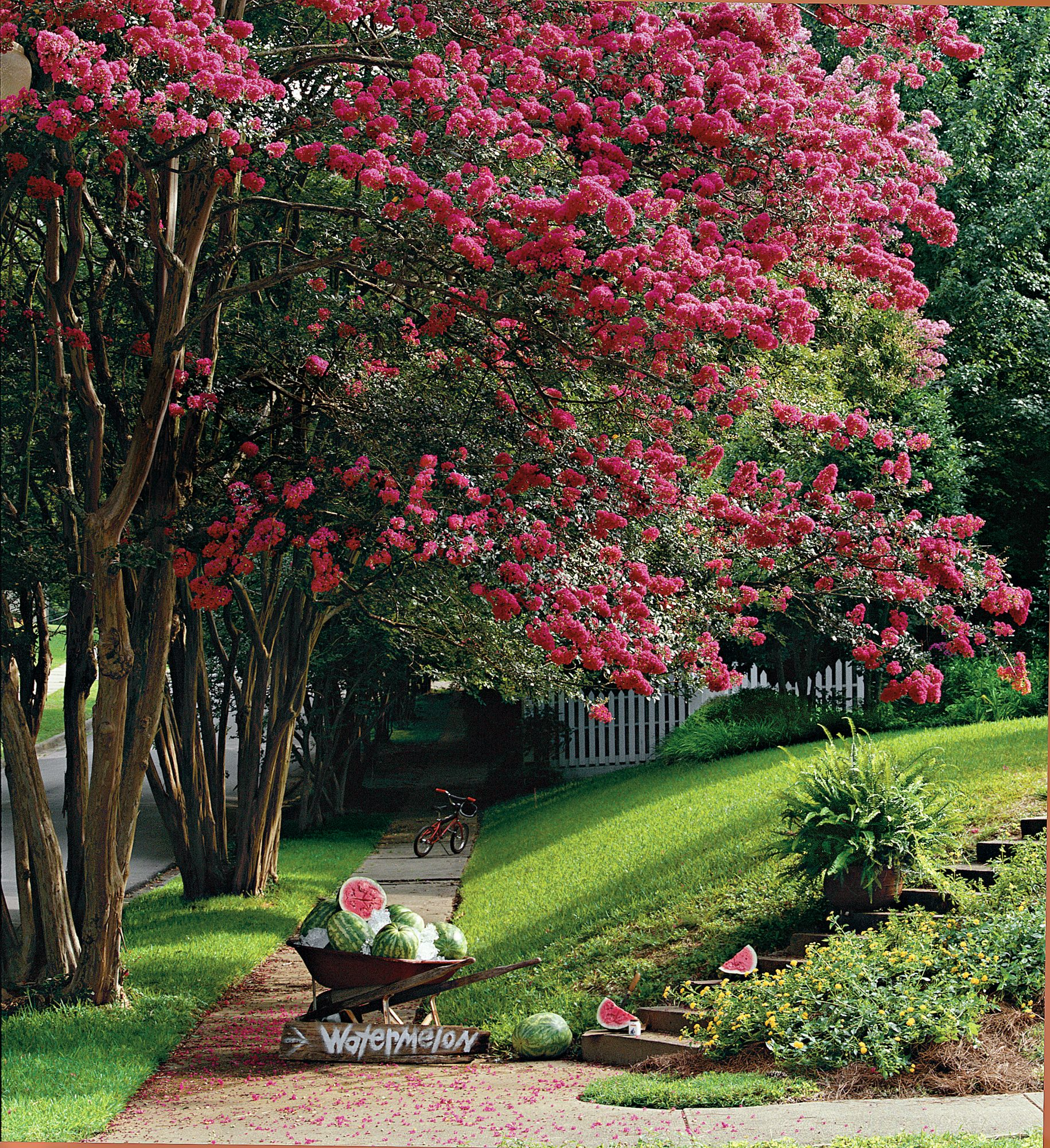 Colorful Crepe Myrtle
