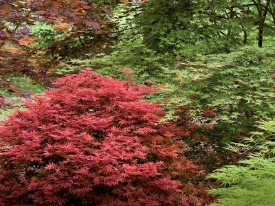 Gardening 101: Japanese Maple Trees - Southern Living on black bamboo indoor plant, japanese bonsai indoor plant, norwegian spruce indoor plant, japanese tree indoor plant,