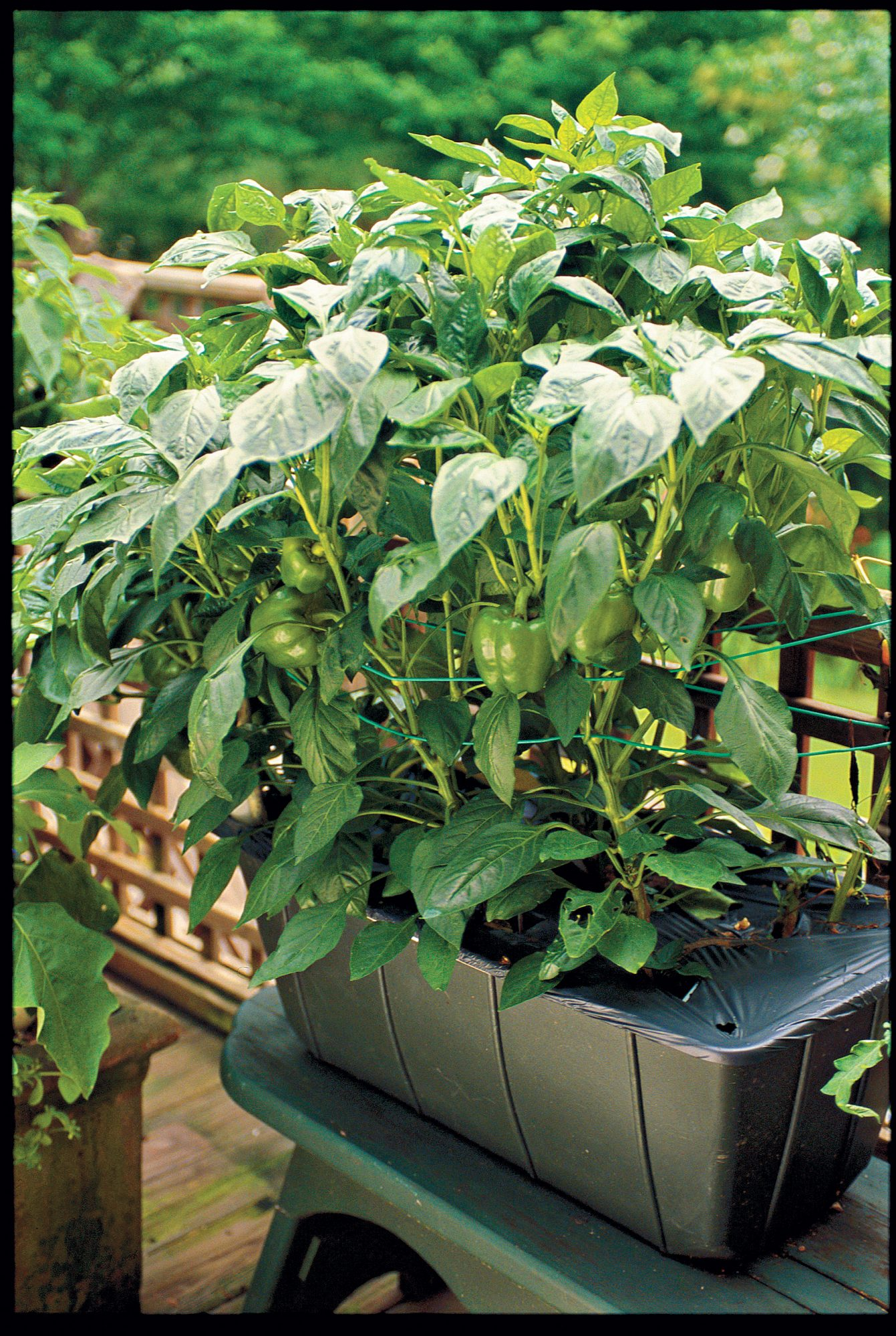 EarthBox Bell Pepper Plant