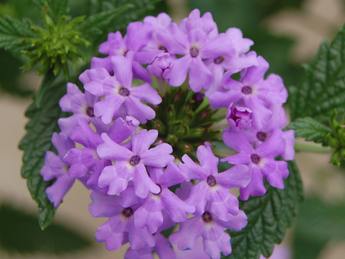 Princess Dark Lavender Verbena
