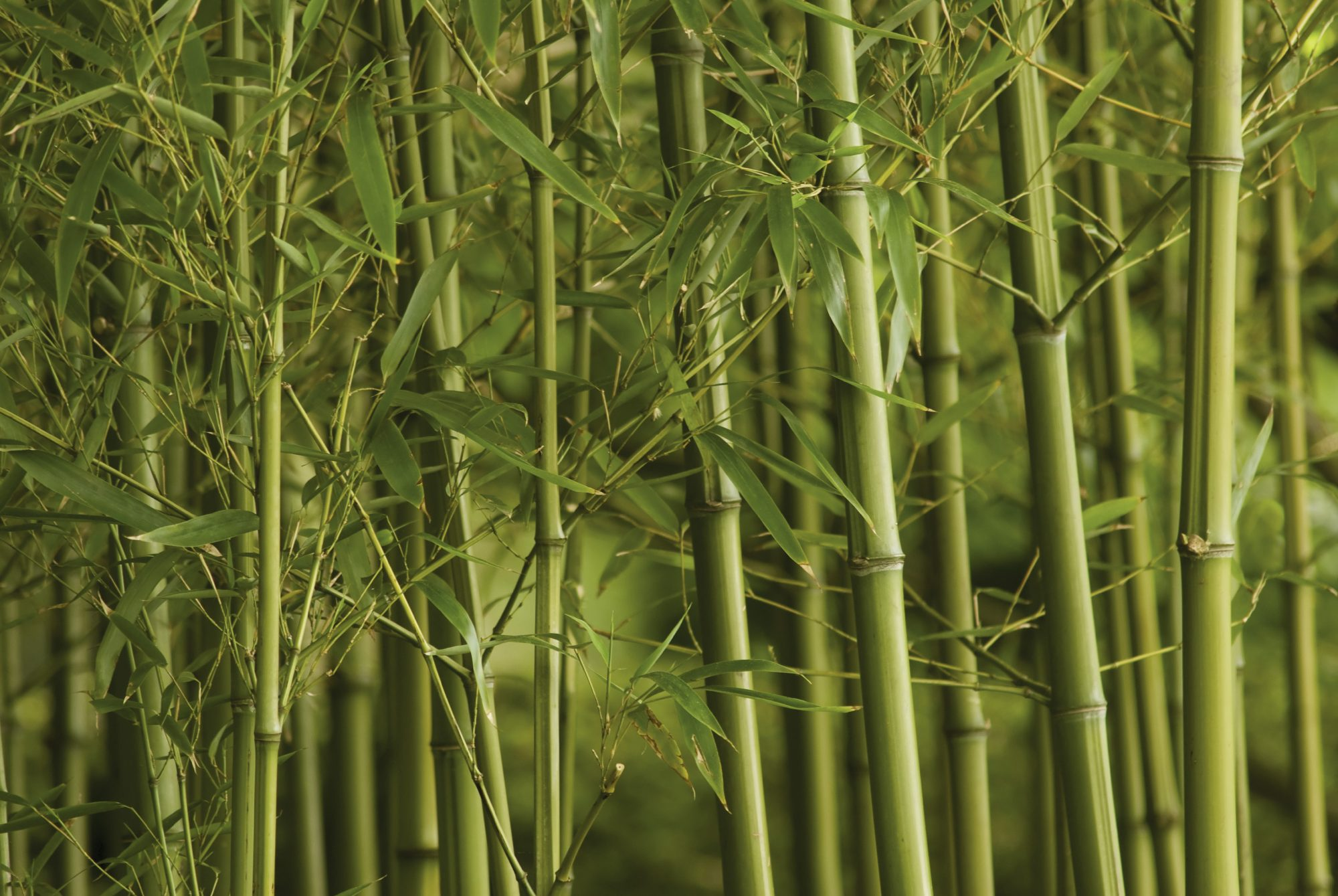 Bamboo Stocks