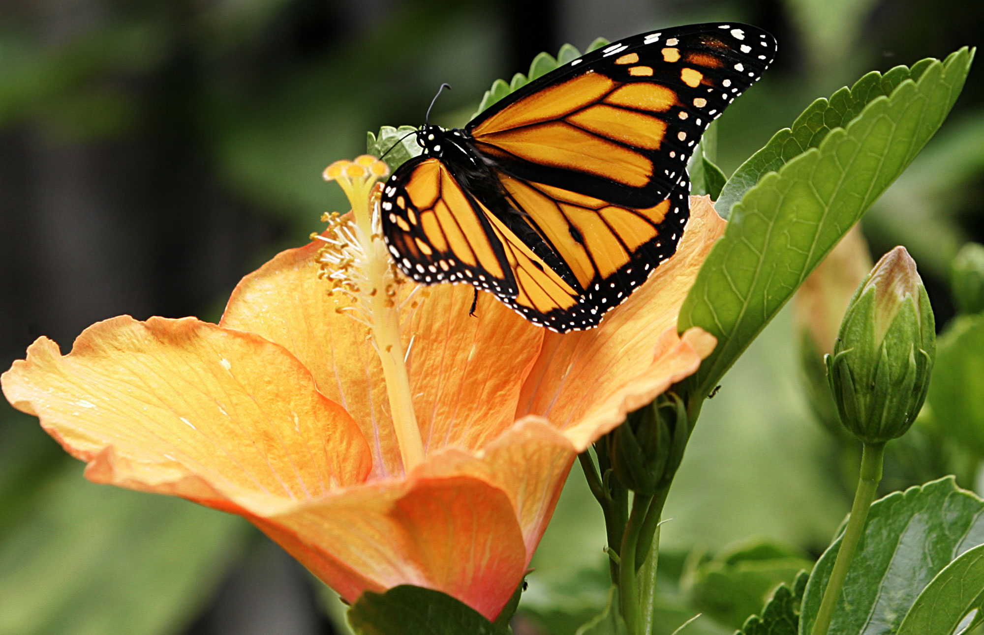 Hibiscus Flower with Butterfly