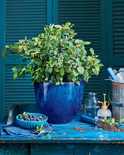 Christmas Bush In Pots.Did You Know You Could Grow Blueberries In Containers Southern Living