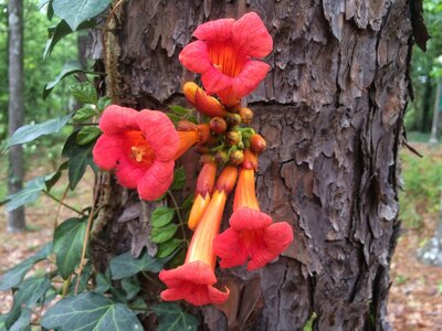 Just Say No to Trumpet Vine - Southern Living