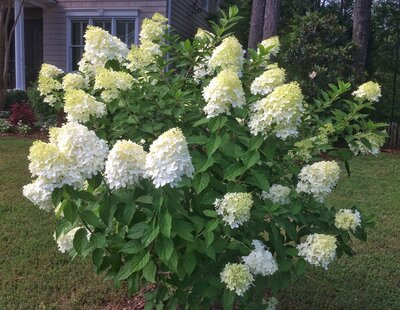 The Easiest Hydrangea Of All Southern Living