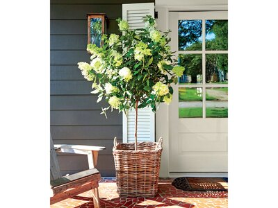 Have You Ever Heard Of The Hydrangea Tree Southern Living