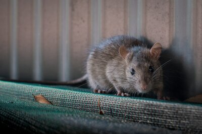 Houston Residents Facing A New Post Harvey Battle Roof Rats