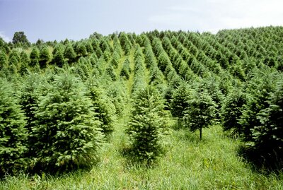 How Long Does It Take A Christmas Tree To Grow.How Fast Do Christmas Trees Grow Southern Living