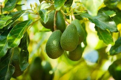 How To Grow An Avocado Tree Southern Living