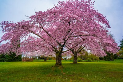 You Can Buy Cherry Blossom Trees For Just 39 At Home Depot